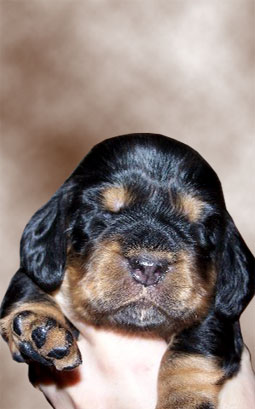 Chrissy Field Spaniel at 2 Weeks
